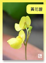 台灣蝕-黃花貍藻.jpg