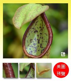 台灣蝕-剛匙豬籠草-N. hirsuta x spathulata_預覽.jpg