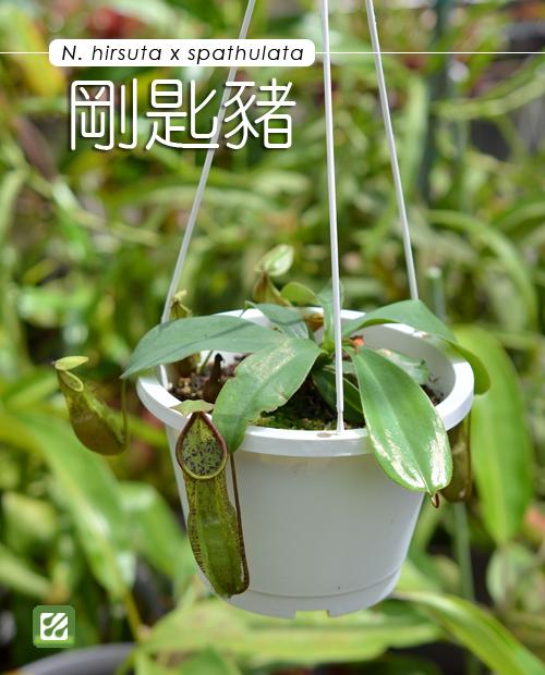 台灣蝕-剛匙豬籠草-N. hirsuta x spathulata_01.jpg