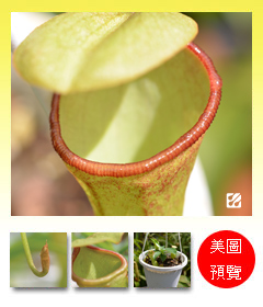 台灣蝕-風鈴葫蘆豬籠草-N. campanulata x ventricosa_預覽.jpg