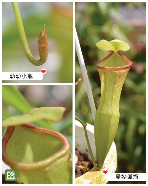 台灣蝕-風鈴葫蘆豬籠草-N. campanulata x ventricosa_02.jpg