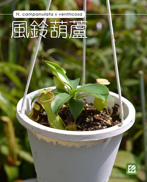 台灣蝕-風鈴葫蘆豬籠草-N. campanulata x ventricosa_01.jpg