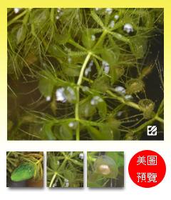 台灣蝕-貉藻-Aldrovanda vesiculosa_預覽.jpg