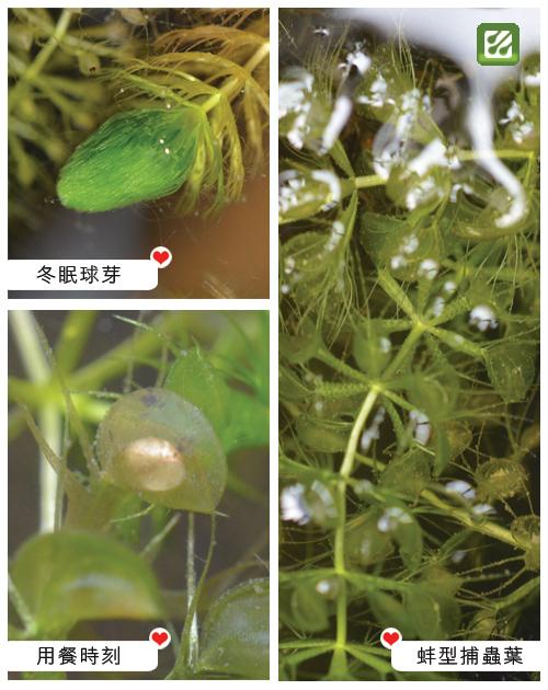 台灣蝕-貉藻-Aldrovanda vesiculosa_02.jpg