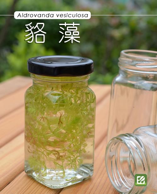 台灣蝕-貉藻-Aldrovanda vesiculosa_01.jpg