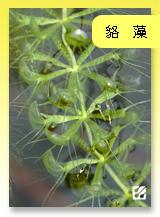 台灣蝕-貉藻.jpg