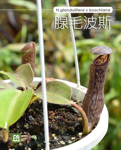 台灣蝕-腺毛波斯豬籠草-N. glandulifera x boschiana_01.jpg