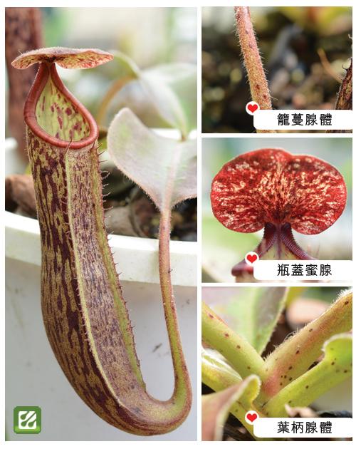 台灣蝕-腺毛波斯豬籠草-N. glandulifera x boschiana_02.jpg