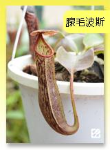 台灣蝕-腺毛波斯豬籠草.jpg