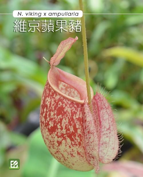 台灣蝕-維京x蘋果豬籠草-N. viking x ampullaria-1