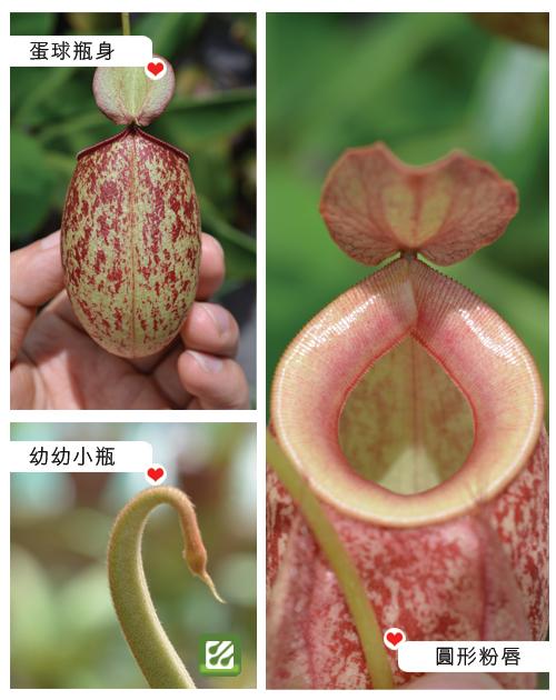台灣蝕-維京x蘋果豬籠草-N. viking x ampullaria-2