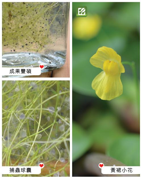 台灣蝕-絲葉貍藻-Utricularia gibba_02.jpg