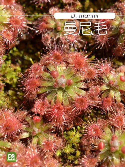 台灣蝕-曼尼毛氈苔-D. mannii-1.jpg