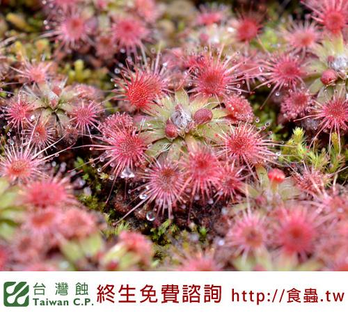 台灣蝕-曼尼毛氈苔-D. mannii-3.jpg