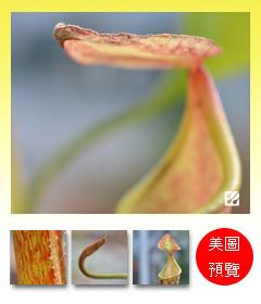 台灣蝕-大豬籠草-N. maxima_預覽.jpg