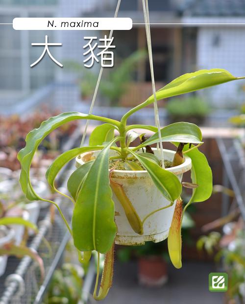 台灣蝕-大豬籠草-N. maxima_01.jpg