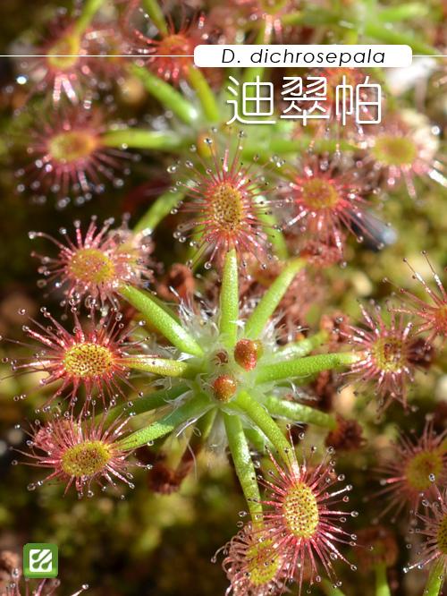 台灣蝕-迪翠帕毛氈苔-D. dichrosepala-1.jpg