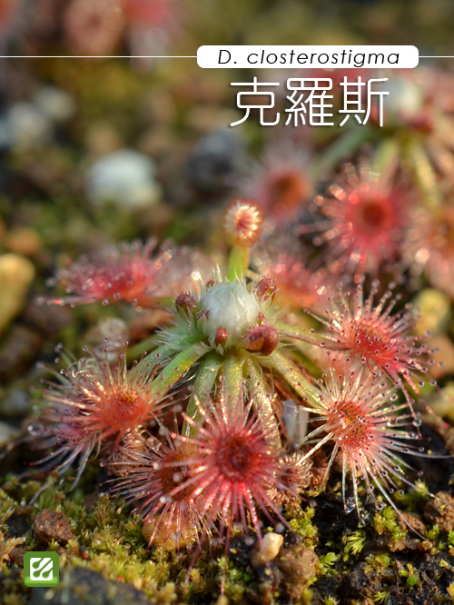 台灣蝕-克羅斯毛氈苔-D. closterostigma-1.jpg