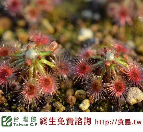 台灣蝕-克羅斯毛氈苔-D. closterostigma-3.jpg