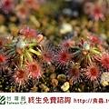 台灣蝕_克羅斯毛氈苔_03.jpg