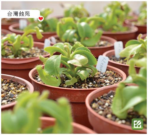 關於台灣蝕-從小苗開始的栽培過程.jpg