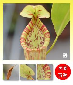 台灣蝕-香蕉豬籠草-N. spp. Banana_預覽.jpg