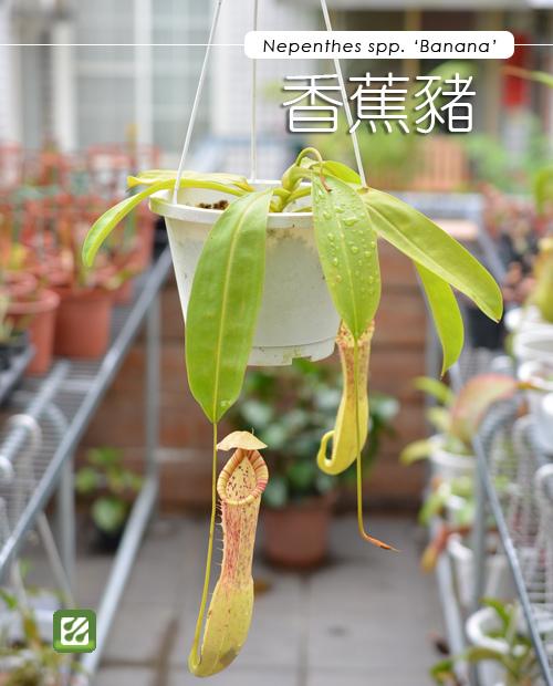 台灣蝕-香蕉豬籠草-N. spp. Banana_01.jpg