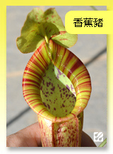 台灣蝕-香蕉豬籠草.jpg