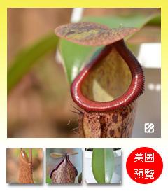 台灣蝕-大波斯豬籠草-N. maxima x boschiana_預覽.jpg