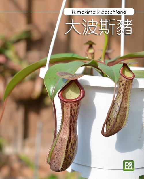 台灣蝕-大波斯豬籠草-N. maxima x boschiana_01.jpg