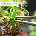 台灣蝕-苞芽出貨包裝流程-1.jpg.jpg