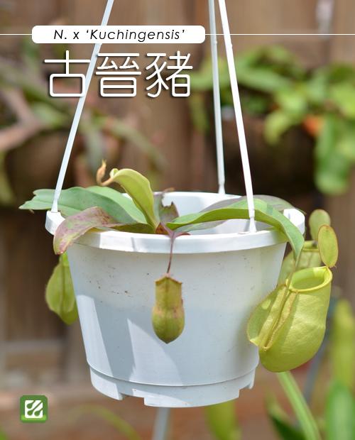 台灣蝕-古晉豬籠草-N. x 'kuchingensis'_01.jpg