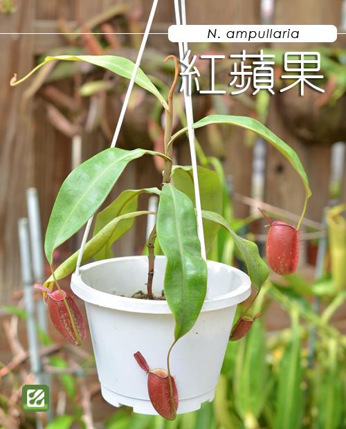 台灣蝕-紅蘋果豬籠草-N. ampullaria_01.jpg