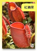 台灣蝕-紅蘋果豬籠草.jpg