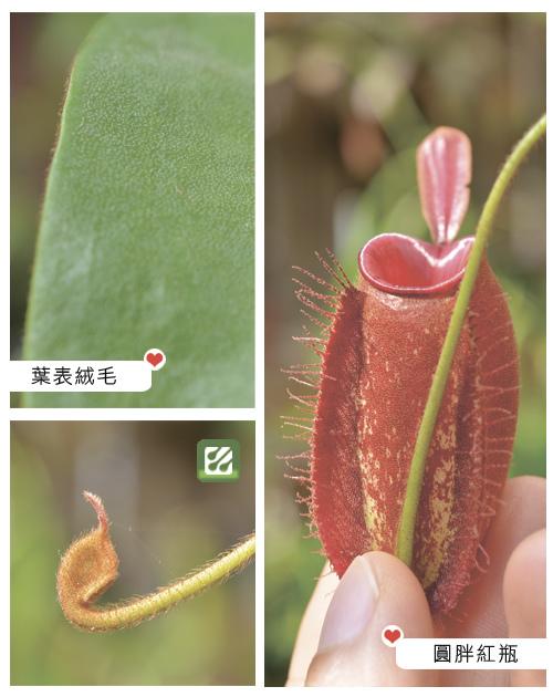 台灣蝕-紅蘋果豬籠草-N. ampullaria_02.jpg