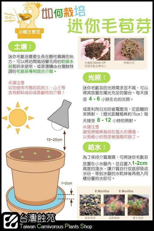 台灣蝕-迷你毛氈苔苞芽播種說明簡圖.jpg