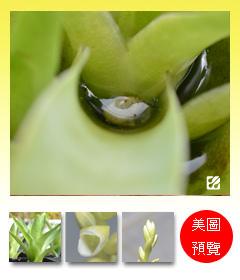 台灣蝕-食蟲鳳梨-Catopsis berteroniana_預覽.jpg