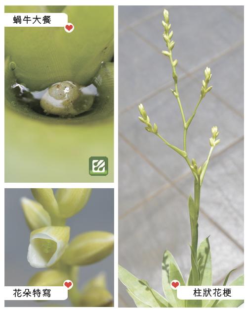 台灣蝕-食蟲鳳梨-Catopsis berteroniana_02.jpg
