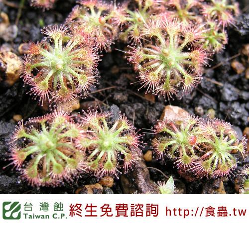 台灣蝕-奧托瑪毛氈苔-D.-allantostigma-3.jpg
