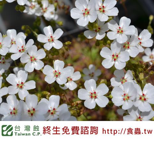 台灣蝕-奧x歐迷你毛氈苔苞芽-D.-allantostigma-x-D.-omissa-3.jpg