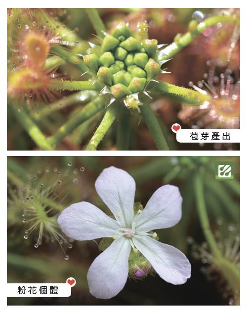 台灣蝕-蠍子毛氈苔-D.-scorpioides-3.jpg