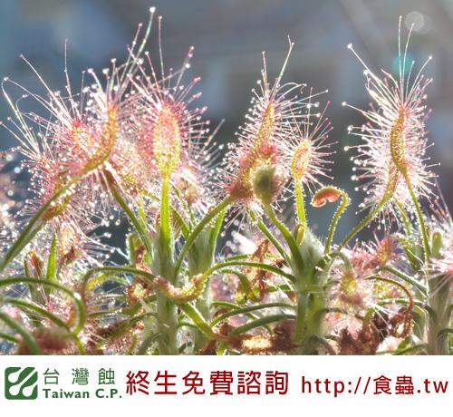 台灣蝕-蠍子毛氈苔-D.-scorpioides-2.jpg
