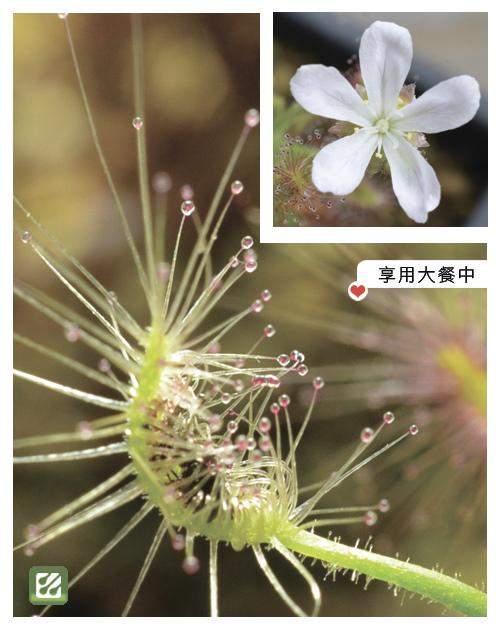 台灣蝕-蠍子毛氈苔-D.-scorpioides-4.jpg