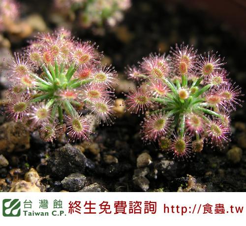 台灣蝕-蘿絲娜迷你毛氈苔-D.-paleacea-subsp.-roseana-3.jpg