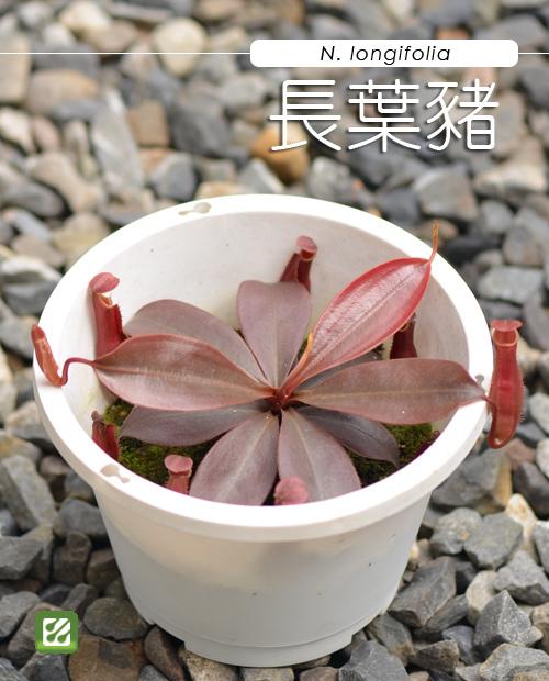 台灣蝕-長葉豬籠草-N. longifolia_01.jpg
