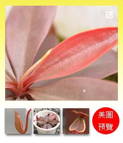 台灣蝕-長葉豬籠草-N. longifolia_預覽.jpg
