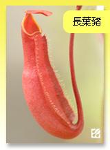 台灣蝕-長葉豬籠草.jpg