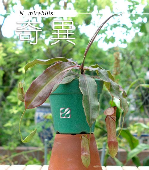 台灣蝕-奇異豬籠草-N.-mirabilis_01.jpg