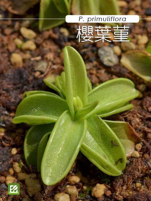 台灣蝕-櫻葉捕蟲堇-Pinguicula primuliflora_01.jpg