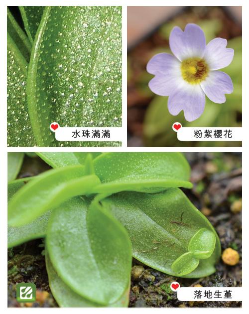 台灣蝕-櫻葉捕蟲堇-Pinguicula primuliflora_02.jpg
